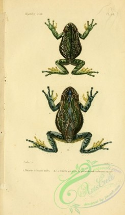 frogs-00006 - rainette a bourse