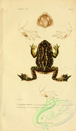 frogs-00009 - scaphiope solitaire