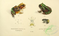 frogs-00048 - ceratophrys dorsata, alytes obstetricans