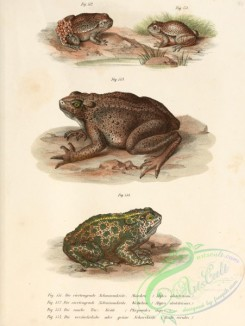 frogs-00071 - alytes obstetricans, phrynoides asper, bufo viridis
