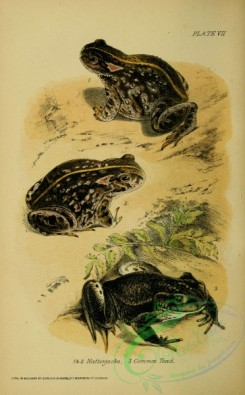 frogs-00087 - Natterjack, Common Toad