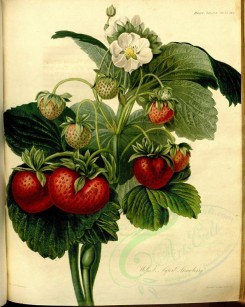 fruits-00686 - Wilmots Superb Strawberry [3481x4360]