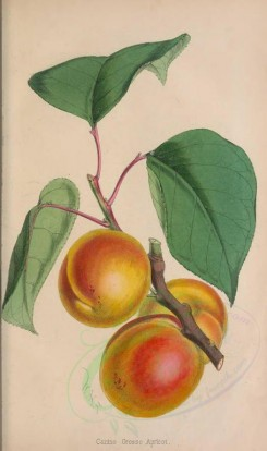 fruits-00734 - Canino Grosso Apricot [2325x3917]