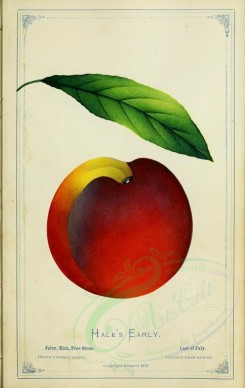 fruits-00786 - Peach - Hale's Early [2716x4297]