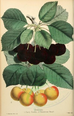 fruits-01085 - Eerly Rivers Cherry, Monstrous Heart Cherry [2294x3598]