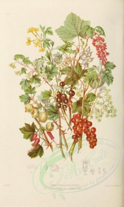 fruits-01566 - Currant and Gooseberry [2234x3706]