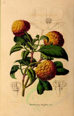 fruits-01954 - benthamia fragifera, Himalayan Strawberry tree, Ewergreen Dogwood, Bentham's Cornus [2989x4706]