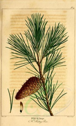 fruits-02249 - New Jersey Pine [2199x3625]