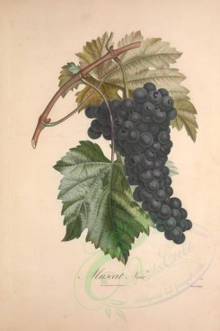 fruits-02325 - Muscat, Grapes, 2 [3433x5143]