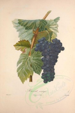 fruits-02326 - Muscat, Grapes, 3 [3433x5143]
