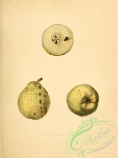 fruits-03173 - Beurre d'Aremberg Pear [2451x3255]