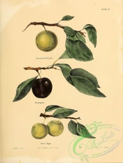 fruits-03213 - Lawrence's Favorite Plum, Pardington Plum, Green Cage Plum [2451x3255]