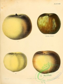 fruits-03237 - Roxbury Russet Apple, Royal Sweeting Apple [2451x3255]