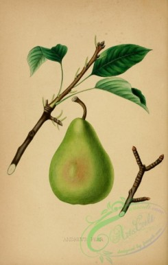 fruits-03266 - Andrews Pear [2536x3984]