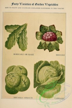 fruits-03554 - Borecole or Kale, Brocoli, Brussels Sprouts, Cabbage [2422x3598]