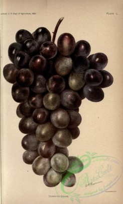 fruits-03770 - Downing Grape [2572x4242]