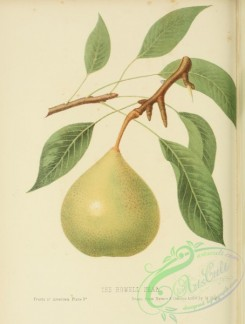 fruits-03880 - Howell Pear [2709x3579]