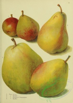 fruits-03949 - Seckel Pear, Bartlett Pear, Duchess d'Angouleme Pear, Kieffer Pear [2046x2877]