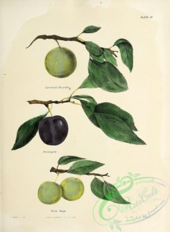 fruits-04323 - 007-Lawrence's Favorite Plum, Pardington Plum, Green Gage