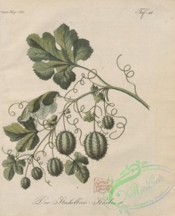 fruits-04436 - 021-Gooseberry