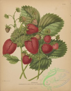 fruits-04478 - Strawberry
