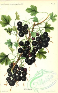 fruits-04671 - Black Currant