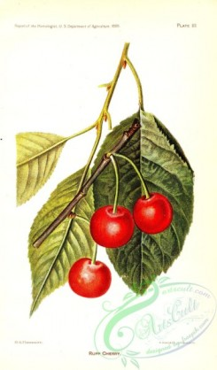 fruits-04709 - Rupp Cherry