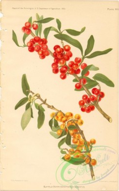 fruits-04711 - Buffalo Berry, shepherdia argentia