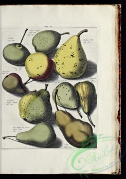fruits-04789 - 015-Pear