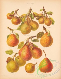 fruits-04822 - 028-Rock Pear, Stony-way Pear, Coppy Pear, Cheatboy Pear, Thorn Pear, Winnall's Longland Pear
