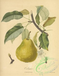 fruits-05327 - 056-Pear