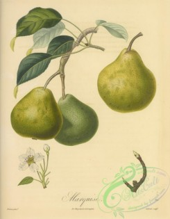 fruits-05349 - 078-Pear