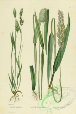 furage_plants-00006 - anthoxanthum odoratum, phalaris