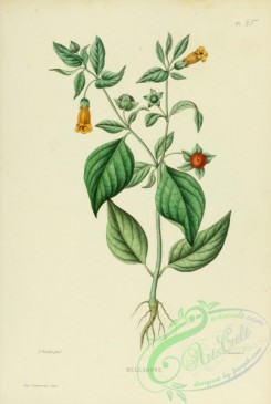 furage_plants-00010 - atropa belladona
