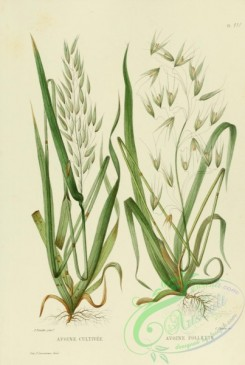 furage_plants-00011 - avena sativa