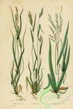 furage_plants-00015 - bromus