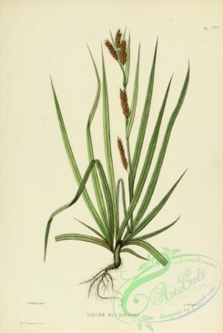 furage_plants-00018 - carex, 2