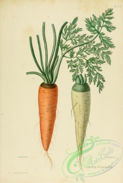 furage_plants-00020 - Carrot, daucus