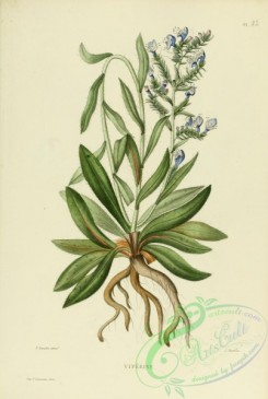 furage_plants-00036 - echium vulgaris