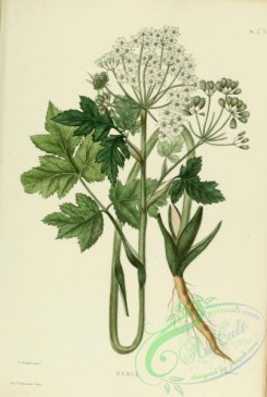 furage_plants-00053 - heracleum