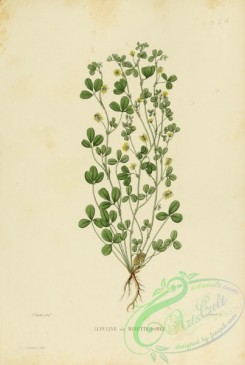 furage_plants-00068 - medicago lupulina