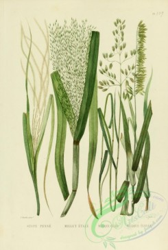 furage_plants-00070 - melica, stipa, milium