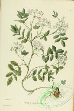 furage_plants-00104 - sium latifolium