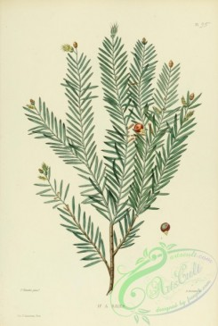 furage_plants-00111 - taxus baccata