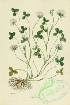 furage_plants-00116 - trifolium repens