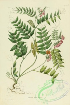 furage_plants-00124 - vicia sepium