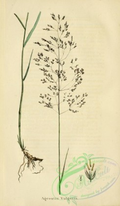 furage_plants-00131 - agrostis vulgaris