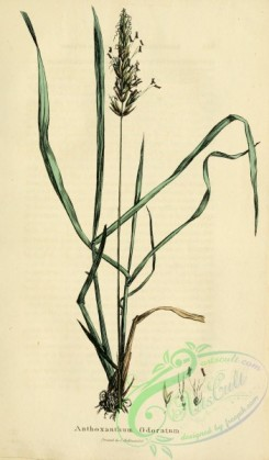 furage_plants-00136 - anthoxanthum odoratum