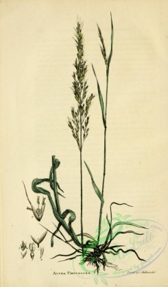 furage_plants-00138 - avena flavescens