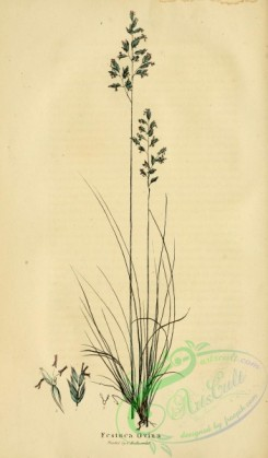 furage_plants-00155 - festuca ovina